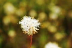 Nature de fleur d'herbe sèche de fond mou de tache floue de foyer Image stock