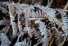 Nature de fougère de Frost photos stock