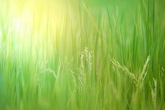 Nature de gisement de riz sur la rizière Photo stock