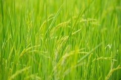 Nature de gisement de riz sur la rizière Images libres de droits
