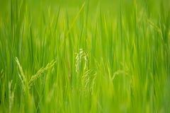 Nature de gisement de riz sur la rizière Photos libres de droits