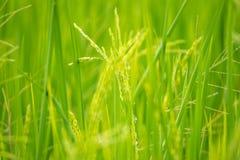 Nature de gisement de riz sur la rizière Photos stock