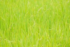 Nature de gisement de riz sur la rizière Photographie stock