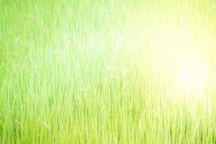Nature de gisement de riz sur la rizière Image libre de droits