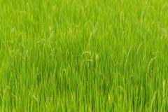 Nature de gisement de riz sur la rizière Image stock