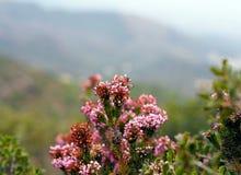 Nature de l'Espagne - vue étroite des fleurs roses de bruyère de montagne photo libre de droits