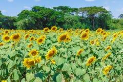 Nature de matin de tournesol belle Photo stock