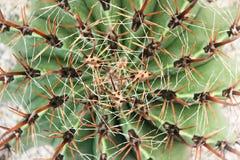 Nature de modèles du cactus vert avec beaucoup la longue épine fleurissant pour le fond, vue supérieure images stock