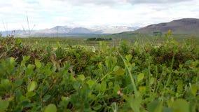 Nature de myrtille Image libre de droits
