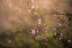 Nature detail in spring, blooming in mist. Blooming tree flowers in pink spring season of nature beauty. Sunrise sun stock photo