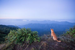 Nature dog. A brown dog enjoying sky foggy view from mountain peak Royalty Free Stock Image