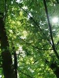 Nature& x27; dossel das horas de verão de s Imagens de Stock