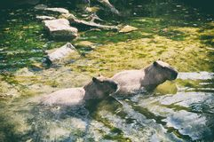 Nature douce d'eau de rivière de capybara latin de couples photos stock
