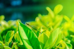 Nature dragonfly on the leaf royalty free stock photos