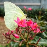BUTTERFLY on a pink flower Royalty Free Stock Photo