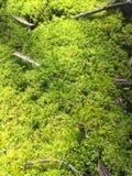 Nature environnementale de protection de l'environnement de ressort naturel de mousse de nature de forêt tropicale de la Tasmanie images stock