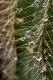 Nature epic scene of fresh water drop on thorn of cactus. Very epic scene of fresh water drop on thorn of cactus Beautiful light and color.this place is in East Stock Photography