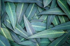 The Nature Eucalyptus leaves  background. Nature green Eucalyptus leaves  background Royalty Free Stock Photos