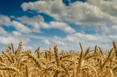 Nature. Fabulous summer Golden wheat field Royalty Free Stock Photo