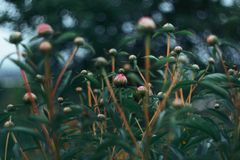 Nature of the far East. Flowers bloom-peonies. Nature of the far East in early summer. Flowers bloom-peonies. Сolor combination in nature Stock Photo