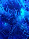 Approach to anemone in a saltwater aquarium, background and texture. Nature and fauna, underwater view, sea and ocean ecosystem royalty free stock photography