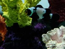 Black clownfish in saltwater aquarium. Nature and fauna, underwater view, sea and ocean ecosystem royalty free stock image