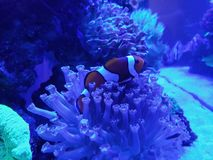 Clownfish in saltwater aquarium. Nature and fauna, underwater view, sea and ocean ecosystem stock images