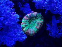 Hard coral in saltwater aquarium. Nature and fauna, underwater view, sea and ocean ecosystem royalty free stock photos