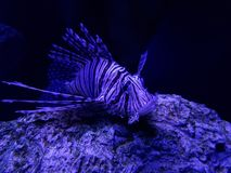 Lion fish resting, marine life in a saltwater aquarium. Nature and fauna, underwater view, sea and ocean ecosystem stock images