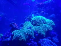 Live corals in a saltwater aquarium. Nature and fauna, underwater view, sea and ocean ecosystem royalty free stock images