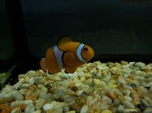 Orange clownfish in saltwater aquarium. Nature and fauna, underwater view, sea and ocean ecosystem stock photos