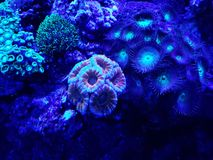 Variety of corals in a saltwater aquarium. Nature and fauna, underwater view, sea and ocean ecosystem royalty free stock photography