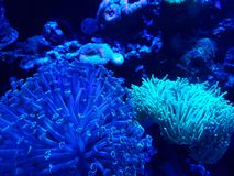 Variety of corals in a saltwater aquarium. Nature and fauna, underwater view, sea and ocean ecosystem stock image