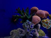 Variety of corals in a saltwater aquarium. Nature and fauna, underwater view, sea and ocean ecosystem royalty free stock photos