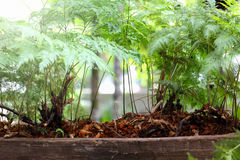 Nature of Ferns in garden. On black background Royalty Free Stock Images