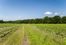 Nature. Fields left and right next to a path - trees on horizon; clear, blue sky Royalty Free Stock Photos