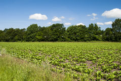 Nature 2. Fields left and right next to a path - trees on horizon; clear, blue sky Royalty Free Stock Photography