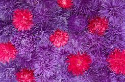 Nature Floral background. Floral background. Arrangement of many Purple and Red asters flowers. Beautiful Nature Wallpaper. Top view. Flat lay Stock Image