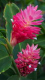 Nature Floral Tropical Island Hawaii Pink Ginger Lily Stock Images