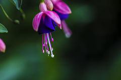 Nature. Flourished of fuchsias in Color Royalty Free Stock Photos