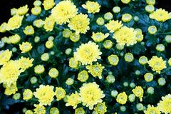 Nature flower background, Yellow daisy flowers blossoming in spr Royalty Free Stock Image