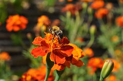 Nature flower bee. Nature plants flower field orange Stock Photos