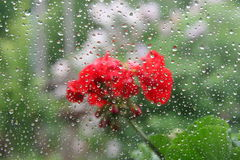 Nature. Flower behind rainy window glass Royalty Free Stock Photo