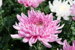 Flower in garden. Nature flower garden fresh blossom  Thailand chiangmai flower lover naturelover Stock Photos