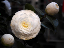 Nature and flower. Open camellia. Royalty Free Stock Photo