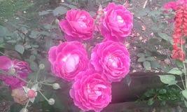 Nature. Flower Roses found in Darjeeling ,India Stock Photos