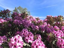 Nature and flowers in the park. Nature and flowers-rhododendron in the park under summer Royalty Free Stock Photo