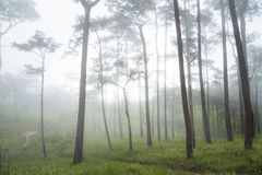 Nature fog in pine tree forest. Phu Soi Dao National Park. Royalty Free Stock Image