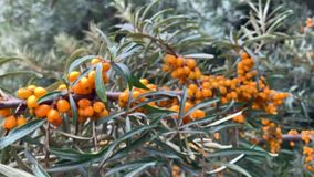Sea buckthorn tree branches with orange fruit and green leaves. Nature footage of sea buckthorn tree branches with bright orange berries stock footage