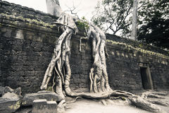 Nature Force at Ta-Prom Castle, Angor. Cambodia Stock Images